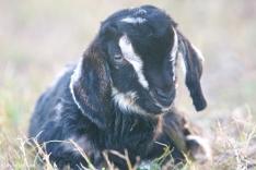 Goat babies 16