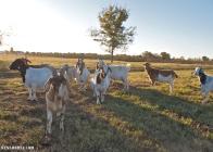 Goat herd 2